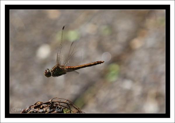 Libelle-Vliegend