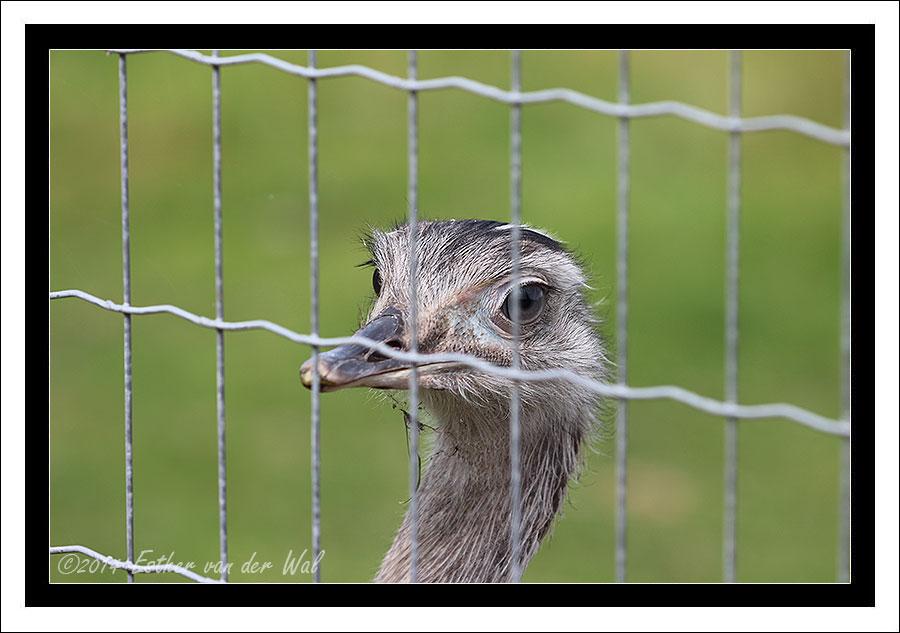 Ezels, Eenden en Struisvogels