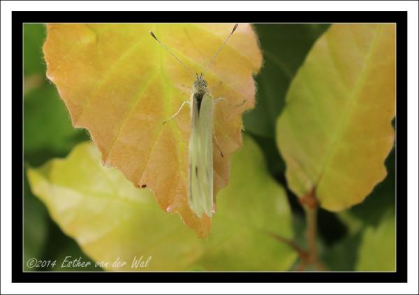 vlinder-01