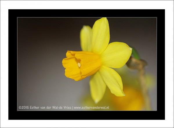 Narcis-01