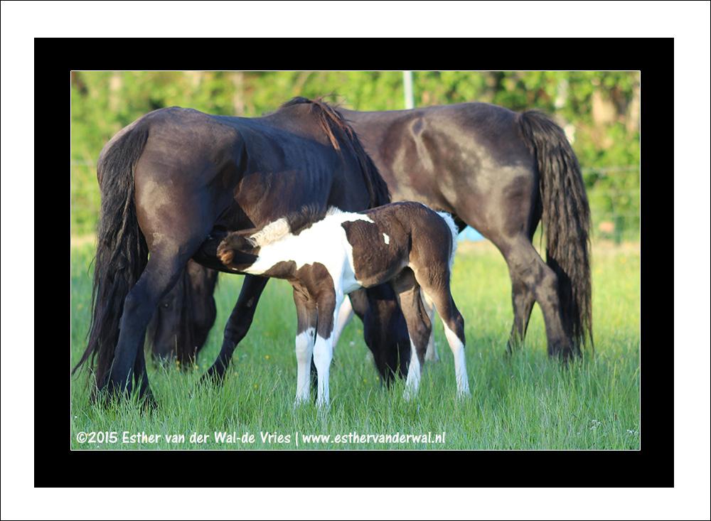 Paarden & Veulentjes