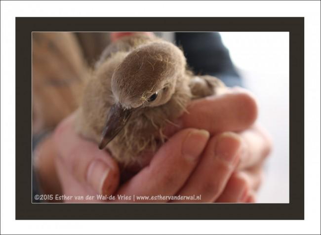 Toch maar eventjes gepakt en terug gezet in het nestje nadat ze overal tegen aan vloog.