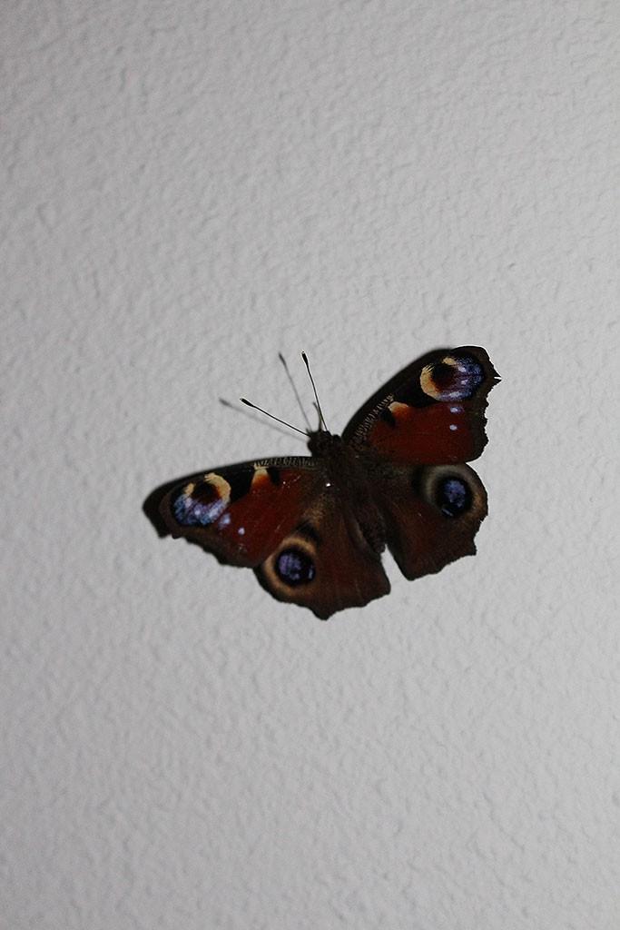 Vlinder [+foto]