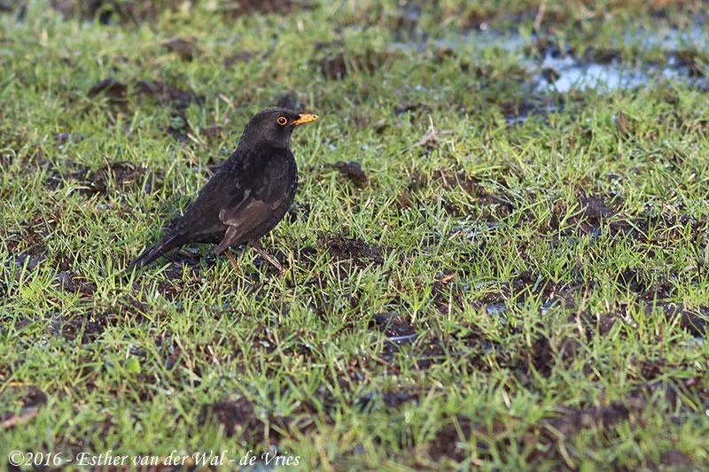 Vogels-23012016-002