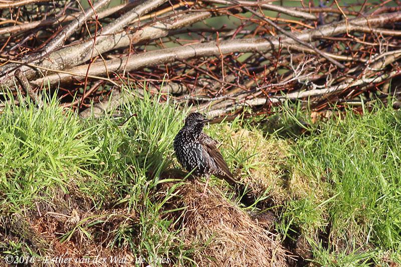 Vogels-23012016-003