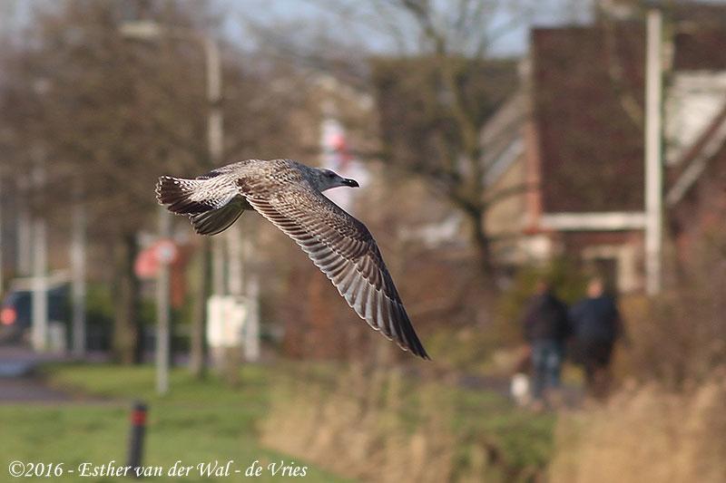Vogels-23012016-004