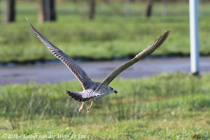 Vogels-23012016-005