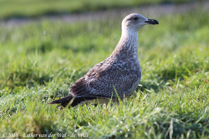 Vogels-23012016-007