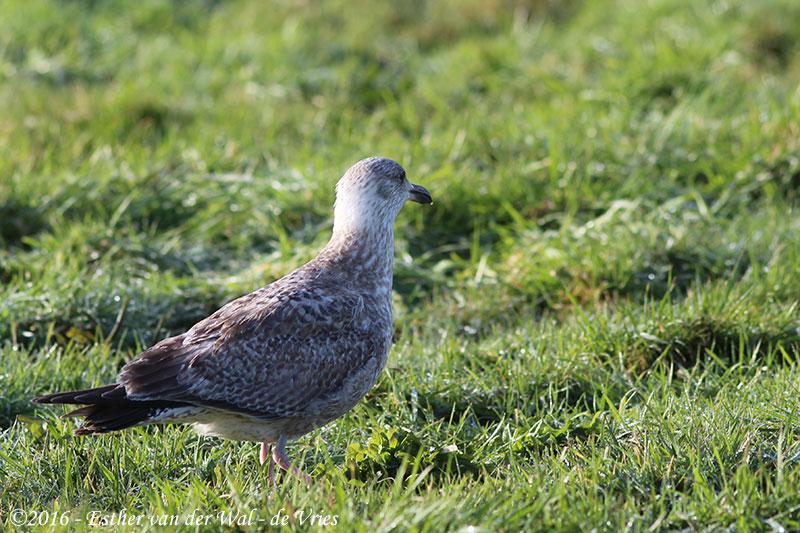 Vogels-23012016-008