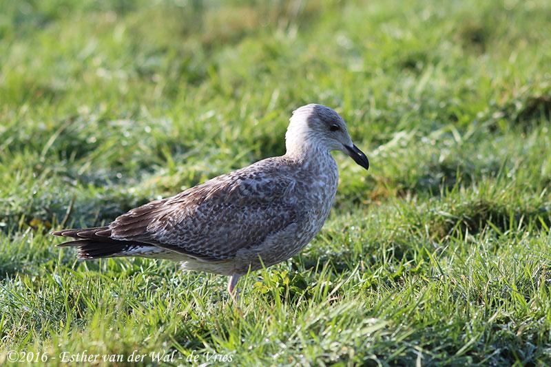 Vogels-23012016-009
