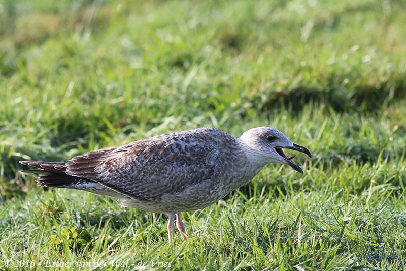 Vogels-23012016-013