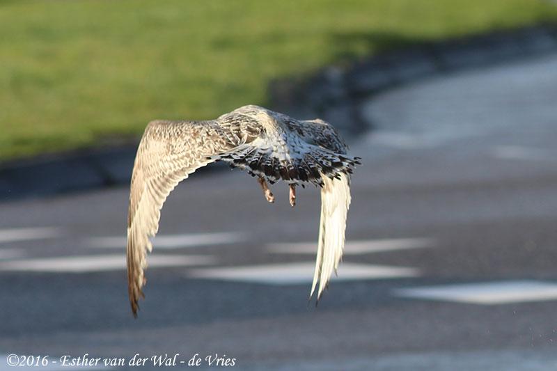 Vogels-23012016-014