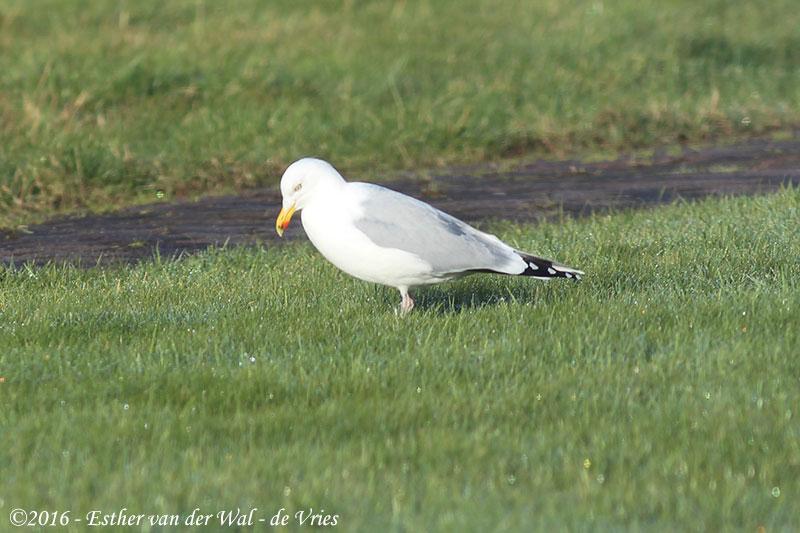 Vogels-23012016-015
