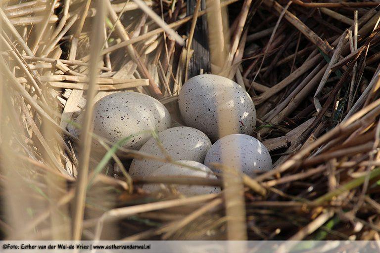 Vijf eitjes!