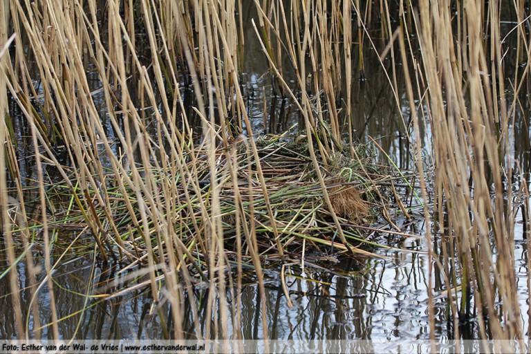 De Meerkoetjes hebben hier in de sloot hun nest gebouwd.
