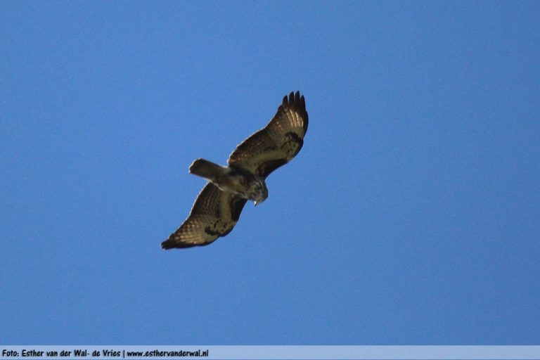 Roofvogel-21042016-01