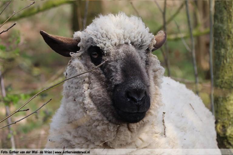 Ik stond ineens oog in oog met een schaap die was ontsnapt! Schrok me rot!