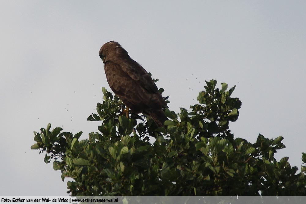 Roofvogel-vliegen3