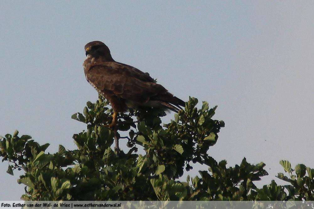 Roofvogel-vliegen5