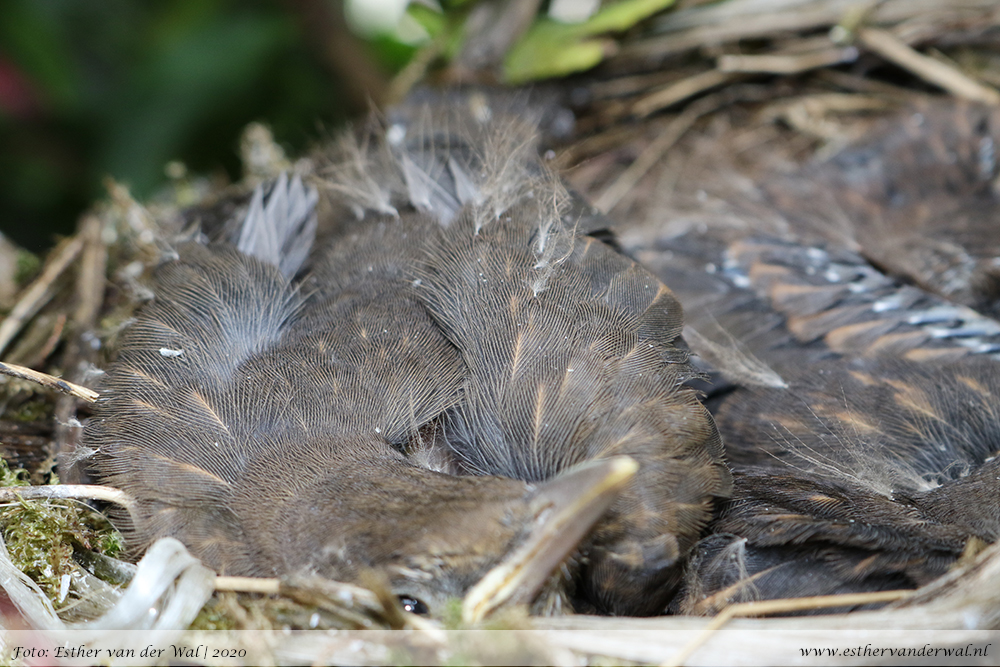 Mereltjes groeien uit hun nestje
